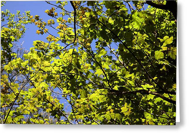 Dappled Light Greeting Cards - Sycamore Leaves (acer Pseudoplatanus) Greeting Card by Dr Keith Wheeler