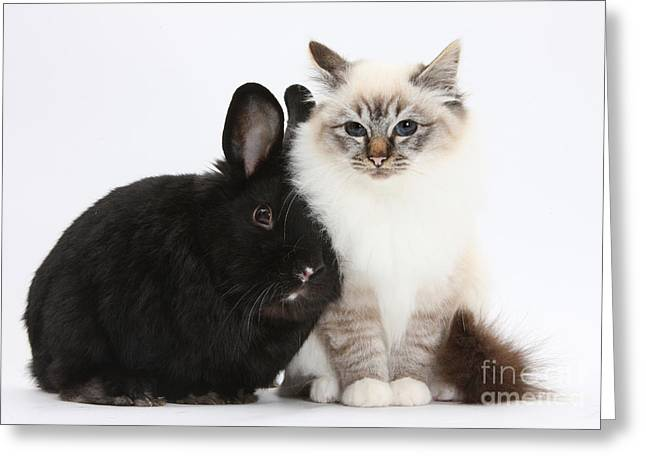 House Pet Greeting Cards - Tabby-point Birman Cat And Black Rabbit Greeting Card by Mark Taylor