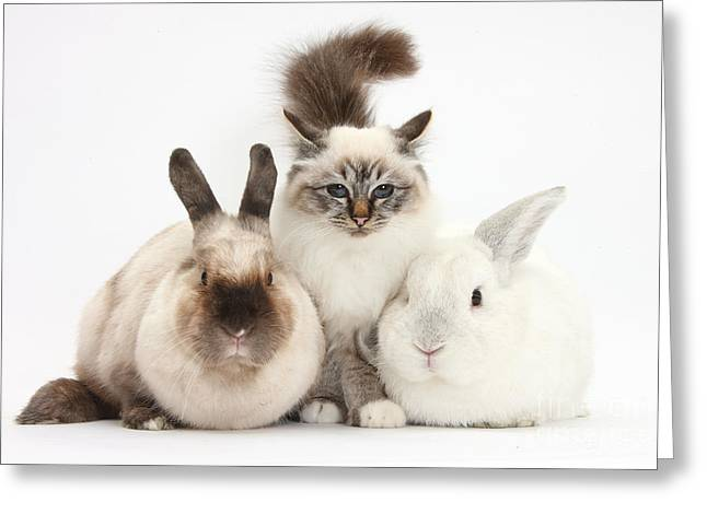 House Pet Greeting Cards - Tabby-point Birman Cat And Rabbits Greeting Card by Mark Taylor