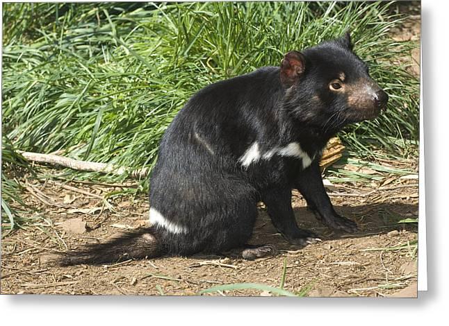 Tasmanian Greeting Cards - Tasmanian Devil Greeting Card by Tony Camacho