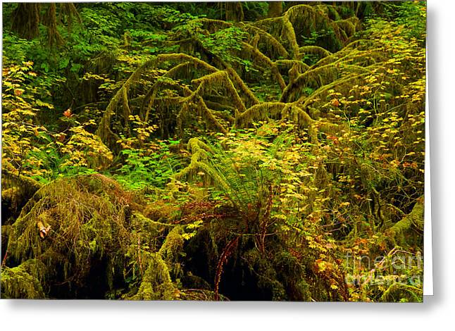 Best Sellers -  - State Parks In Oregon Greeting Cards - Temperate Rain Forest Greeting Card by Adam Jewell