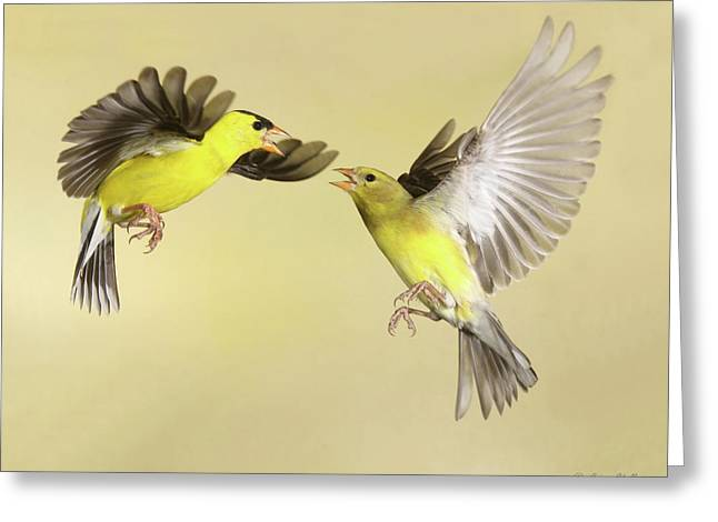 Canary In Flight Greeting Cards - Territorial Dispute Greeting Card by Gerry Sibell