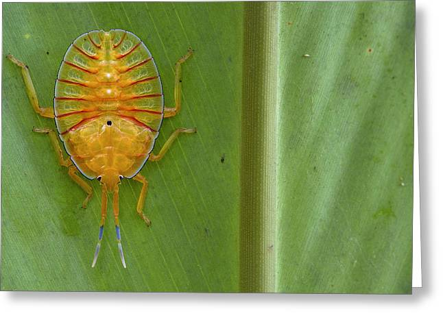 Tessaratomid Nymph Papua New Guinea Greeting Card by Piotr Naskrecki