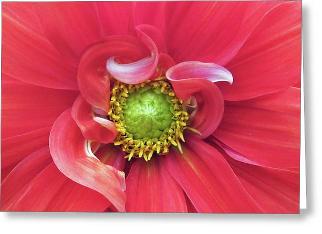 Floral Photographs Greeting Cards - The Dahlia Greeting Card by Gwyn Newcombe