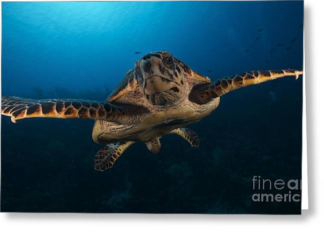 Undersea Photography Greeting Cards - The Hawksbill Sea Turtle, Bonaire Greeting Card by Terry Moore