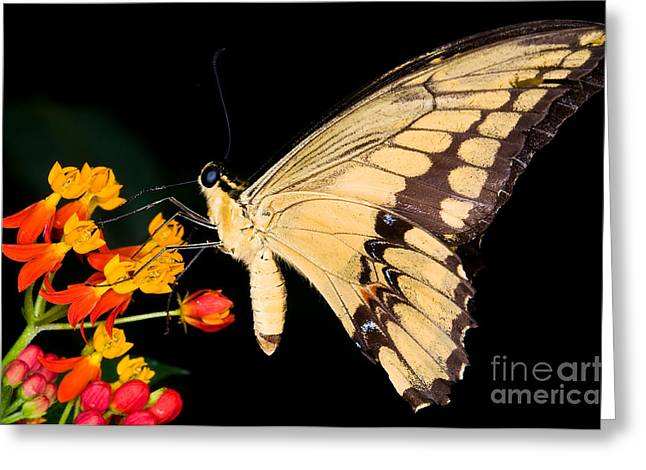 Papilio Thoas Greeting Cards - Thoas Swallowtail Butterfly Greeting Card by Terry Elniski