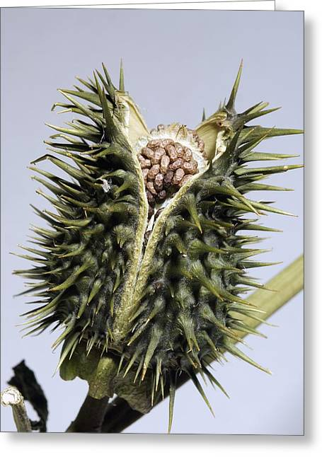 Datura Greeting Cards - Thorn Apple (datura Stramonium) Seed Pod Greeting Card by Georgette Douwma