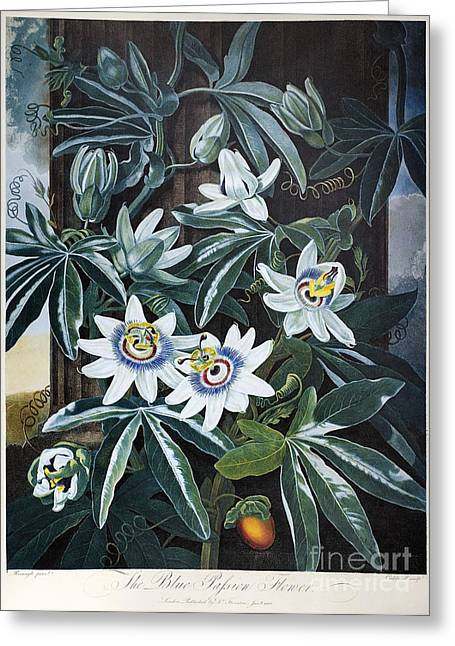 Passion Fruit Photographs Greeting Cards - Thornton: Passion-flower Greeting Card by Granger