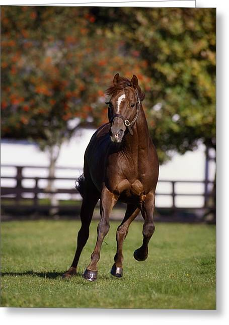 Full Body Greeting Cards - Thoroughbred Horse, Ireland Greeting Card by The Irish Image Collection