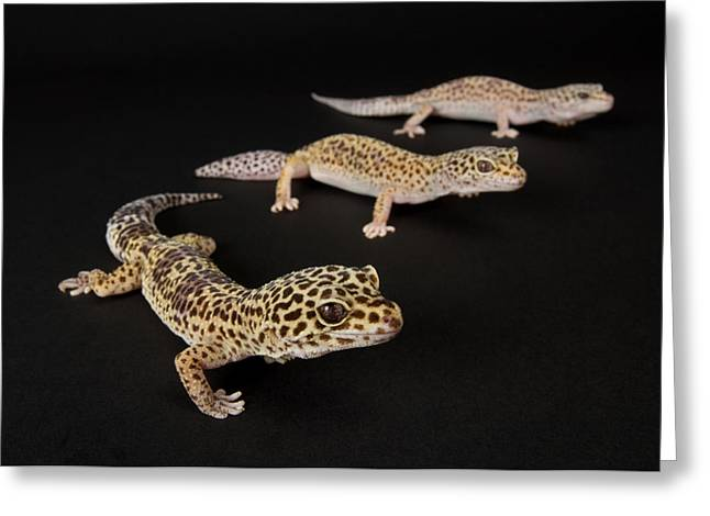 Sunset Zoo Greeting Cards - Three Female Leopard Geckos Eublepharis Greeting Card by Joel Sartore