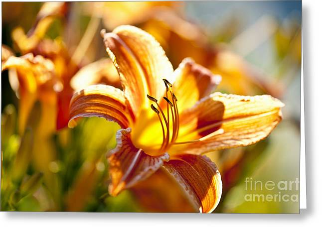 Botany Greeting Cards - Tiger lily flower Greeting Card by Elena Elisseeva