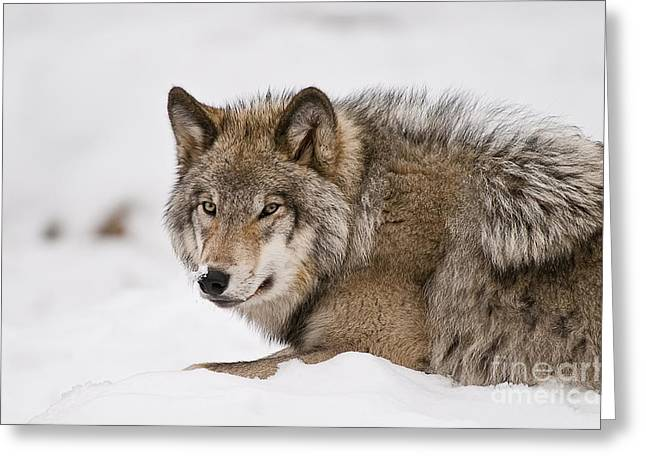Wolves Greeting Cards - Timber Wolf In Snow Greeting Card by Michael Cummings