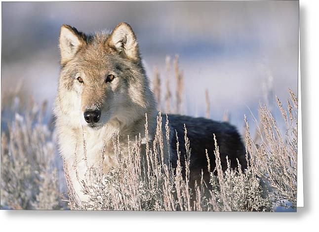Wolf Head Greeting Cards - Timber Wolf Portrait North America Greeting Card by Tim Fitzharris