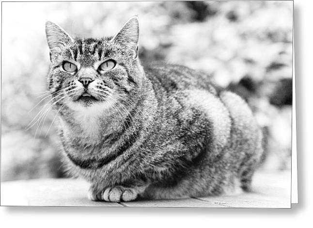 Concentrate Greeting Cards - Tomcat Greeting Card by Frank Tschakert