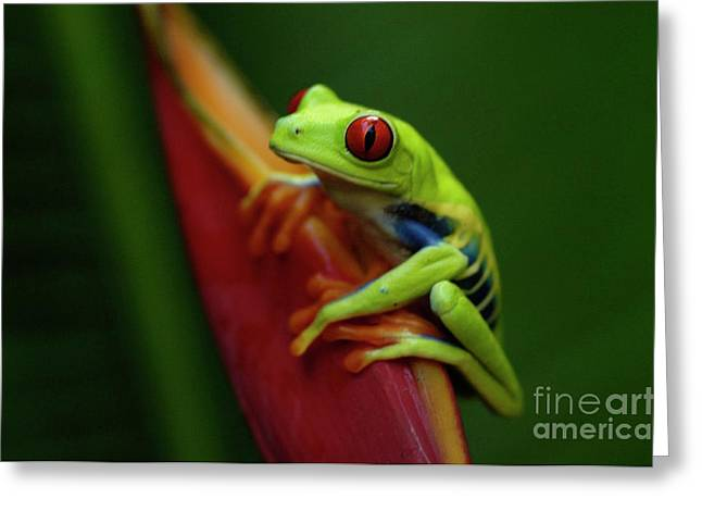 Tree Frog 19 Greeting Card by Bob Christopher
