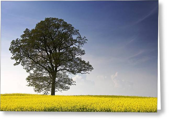 Tree In A Rapeseed Field, Yorkshire Greeting Card by John Short