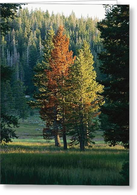 Plant Color Changes Greeting Cards - Trees Of This Forest Begin Bearing Greeting Card by Raymond Gehman
