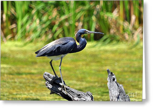 Louisiana Heron Greeting Cards - Tricolored Heron Greeting Card by Al Powell Photography USA