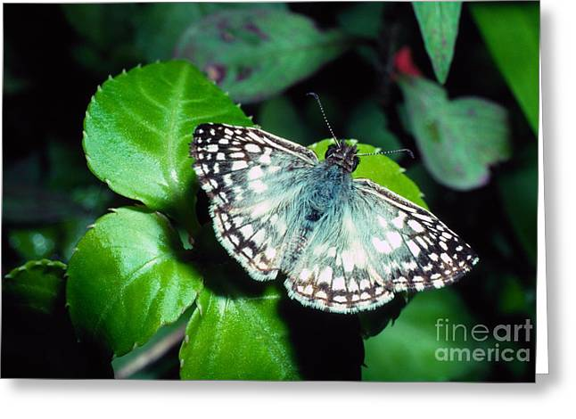 Patterned Marking Greeting Cards - Tropical Checkered Skipper Greeting Card by Thomas R Fletcher