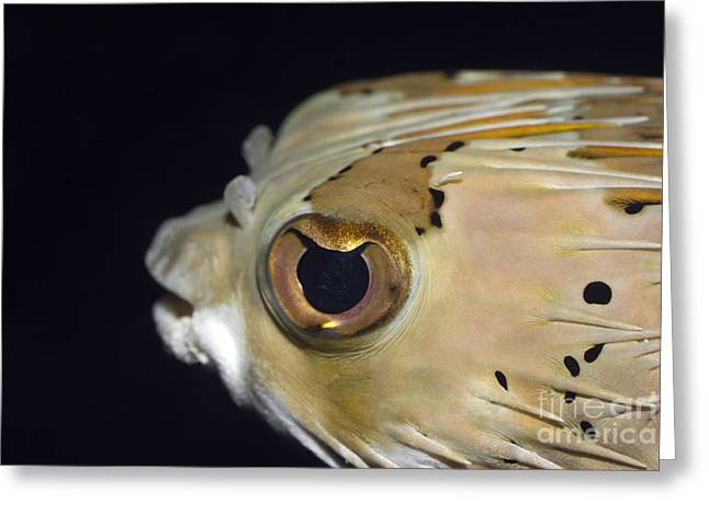Porcupinefish Greeting Cards - Tropical fish Porcupinefish Greeting Card by MotHaiBaPhoto Prints