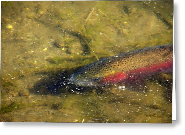 Rainbow Trout Greeting Cards - Trout Under Ice Greeting Card by Phyllis Ezit