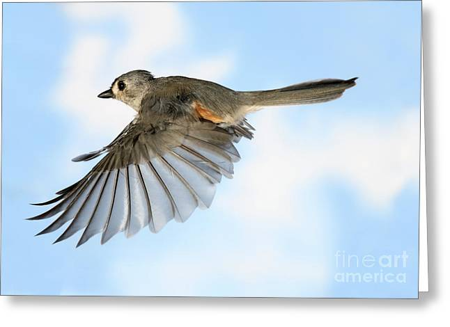 Silhouettable Greeting Cards - Tufted Titmouse In Flight Greeting Card by Ted Kinsman