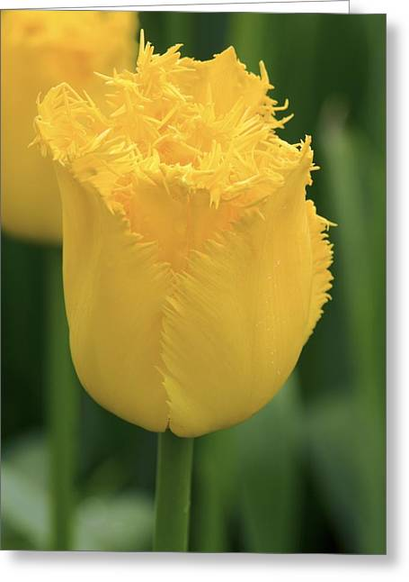 Tulip (tulipa 'hamilton') Greeting Card by Adrian Thomas