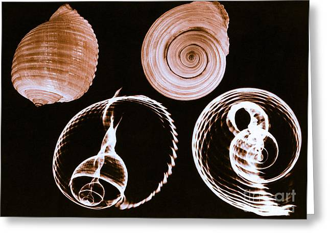 Tun Greeting Cards - Tun Shell X-ray Greeting Card by Photo Researchers