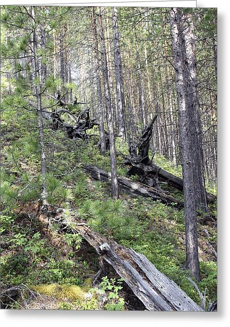 Flattened Greeting Cards - Tunguska Forest Greeting Card by Ria Novosti