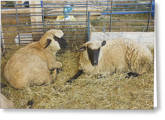 Black Face Greeting Cards - Two Black Faced Sheep In Barn Maine Greeting Card by Keith Webber Jr