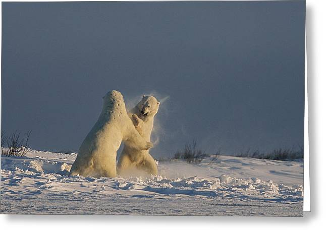 Rearing Up Greeting Cards - Two Male Polar Bears Playfully Wrestle Greeting Card by Norbert Rosing