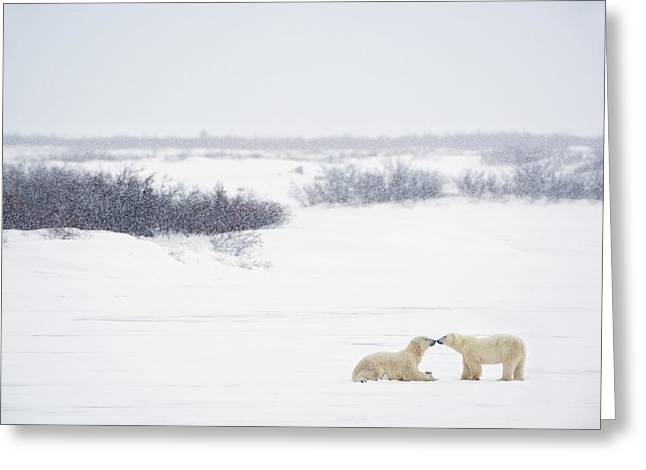 Love The Animal Greeting Cards - Two Polar Bears Ursus Maritimus Showing Greeting Card by Richard Wear
