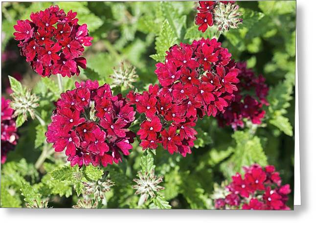 Verbena Greeting Cards - Verbena claret Greeting Card by Dr Keith Wheeler