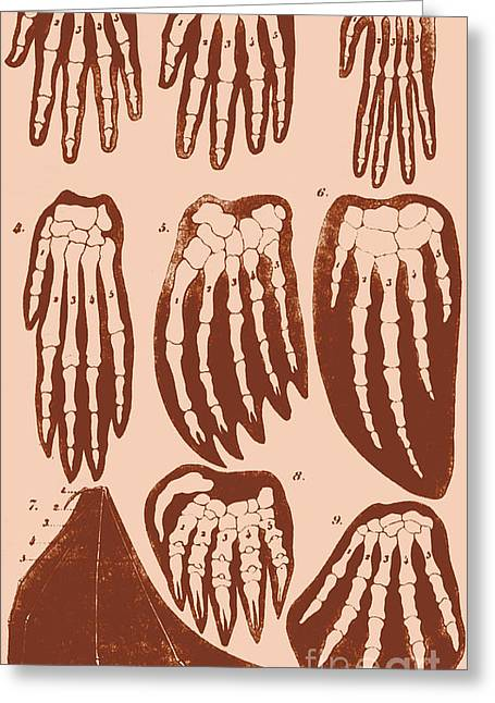 Ernst Heinrich Philipp August Haeckel Greeting Cards - Vertebrate Mammal Forefeet, Ernst Greeting Card by Science Source