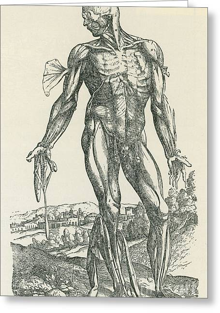 Historical Images Greeting Cards - Vesalius De Humani Corporis Fabrica Greeting Card by Science Source
