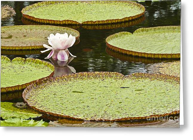 Giant Water Lily Victoria Amazonica Greeting Card by Heiko Koehrer-Wagner