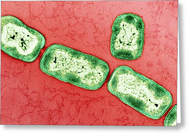 Lubricant Greeting Cards - Vitreoscilla Bacteria, Tem Greeting Card by Peter Bond, Em Centre, University Of Plymouth