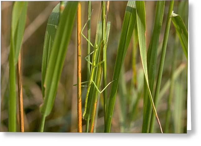 Walking Stick Insect Greeting Card by Ted Kinsman