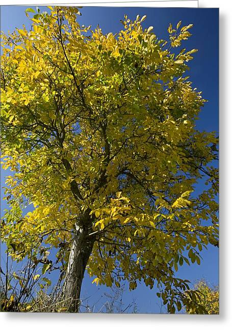Regia Greeting Cards - Walnut Tree (juglans Regia) Greeting Card by Bob Gibbons