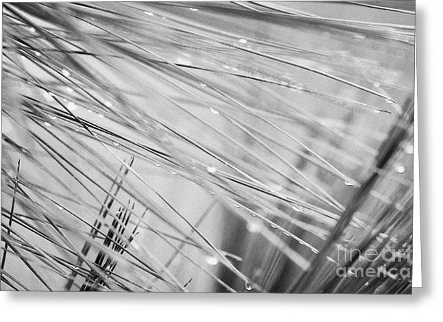 Pine Needles Greeting Cards - Water Droplets From Mountain Mist Running Down Pine Needles On Conifer Trees Greeting Card by Joe Fox