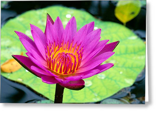 Waterlily Stamen Greeting Cards - Water Lily Greeting Card by Bill Brennan - Printscapes