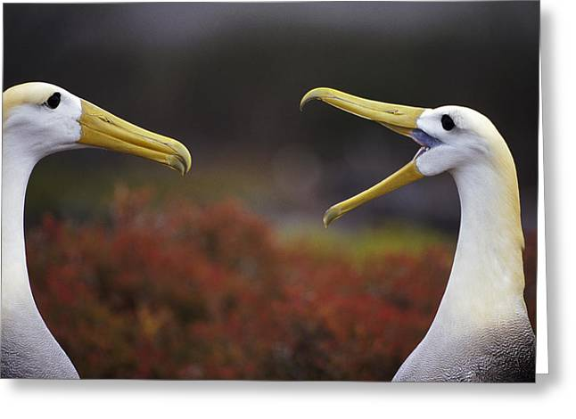 Diomedeidae Greeting Cards - Waved Albatross Phoebastria Irrorata Greeting Card by Tui De Roy