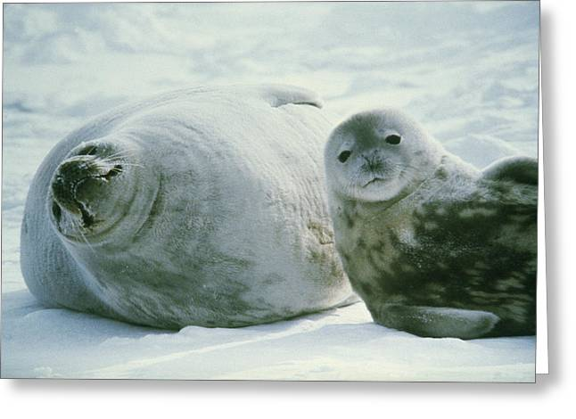 Predatory Animals Greeting Cards - Weddell Seals Greeting Card by Doug Allan