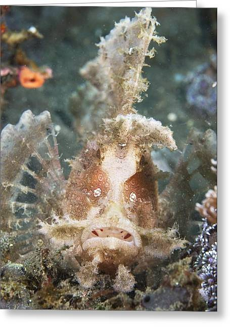 Weedy Greeting Cards - Weedy Scorpionfish Greeting Card by Matthew Oldfield