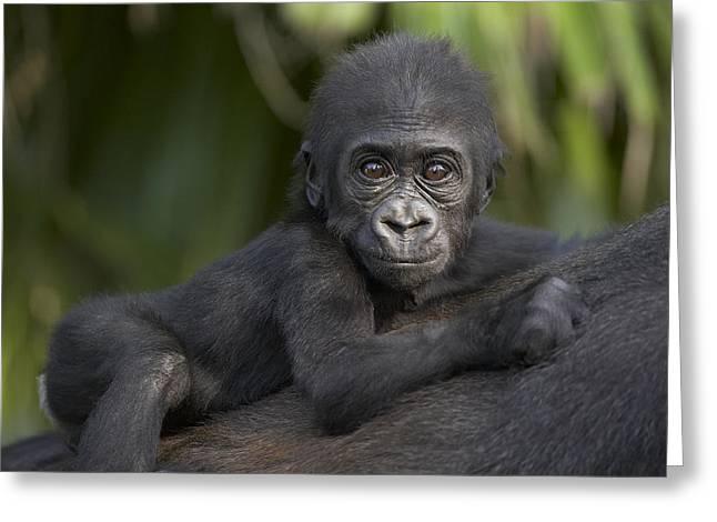Western Lowland Gorilla Gorilla Gorilla Greeting Card by San Diego Zoo