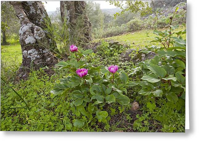 Green Foliage Greeting Cards - Western Peony (paeonia Broteroi) Greeting Card by Bob Gibbons