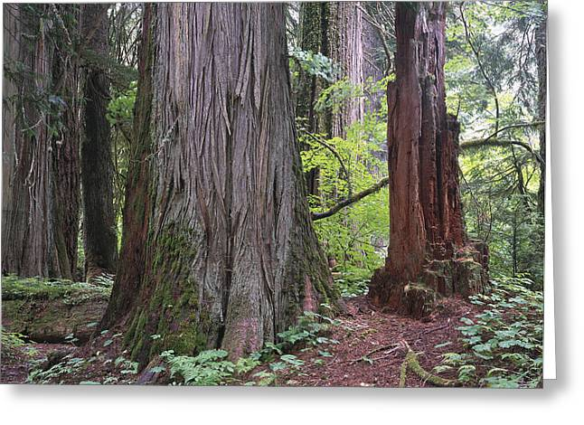 Red Cedar Greeting Cards - Western Red Cedar Grove Greeting Card by Tim Fitzharris