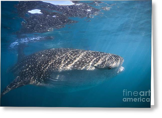 La Paz Greeting Cards - Whale Shark, La Paz, Mexico Greeting Card by Todd Winner