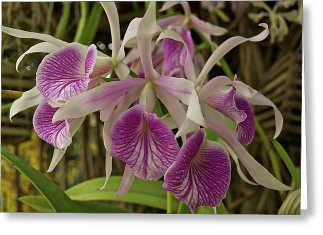 Purchase Art Greeting Cards - White and Purple Orchids Greeting Card by Michael Peychich