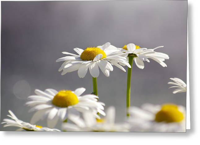 White Daisies Greeting Card by Carlos Caetano